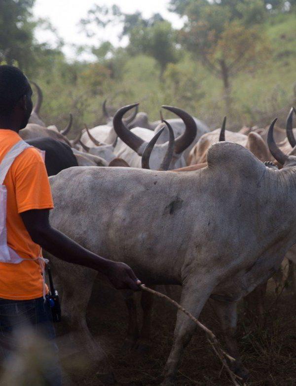 Plus de 15.000 ménages du Lac bénéficient de vaccination de bétail
