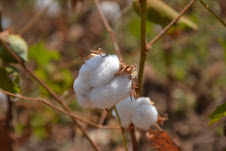 Suspension de la distribution des semences de coton Irma est levée 1