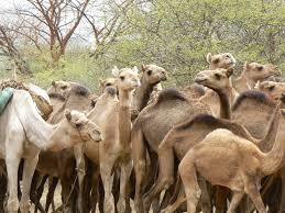 Un demi-million d'animaux seront vaccinés dans la province du Lac 1