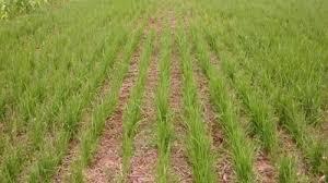 Une stratégie pour produire plus de riz 1