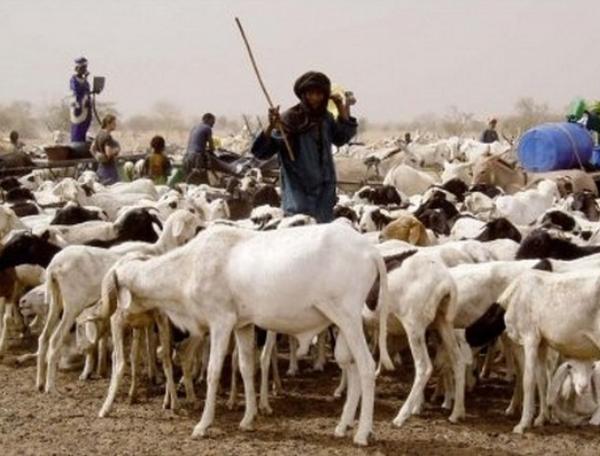 Plus de 384'000 têtes de bétail vaccinées dans le Lac