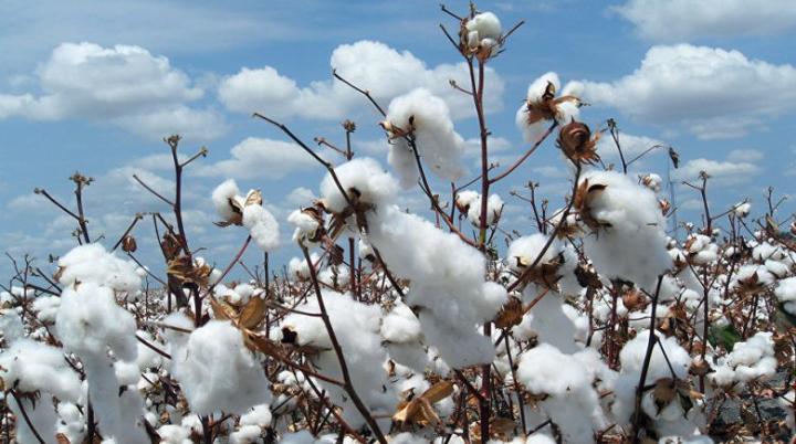 Le coton sera vendu à 227,5 le kg 1