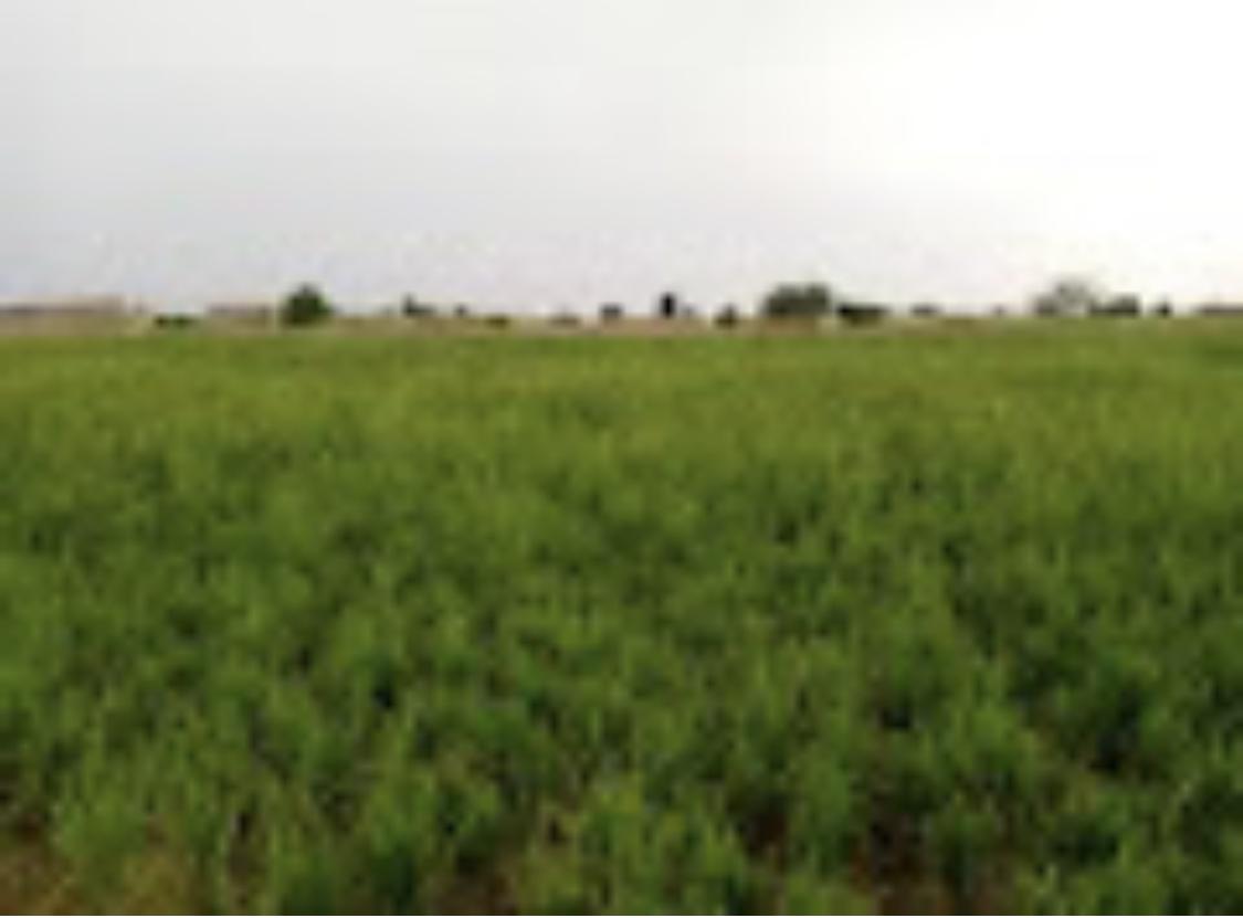 Les cultivateurs de riz autour de N'Djamena craignent une mauvaise récolte 1