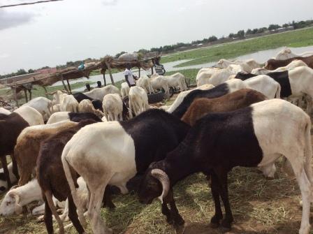 Aïd el-Kébir : des moutons aux prix qui donnent le tournis 1