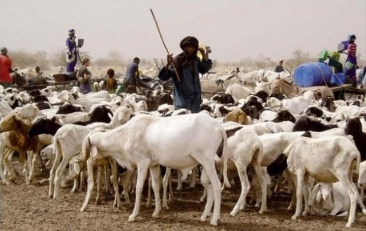 Plus de 384'000 têtes de bétail vaccinées dans le Lac 1