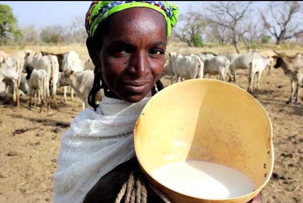 Menace sur le lait local, 55 organisations des producteurs sonnent l'alerte