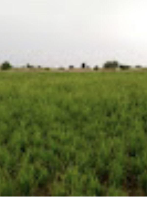 Les cultivateurs de riz autour de N'Djamena craignent une mauvaise récolte